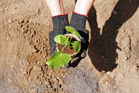 Hands in gloves holding seedlings of cucumber ready to planting in the background of the earth Stock Photo