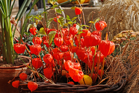 Physalis in a wicker basket on the background of grains and plant Stock Photo