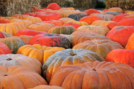 thanksgiving day symbol: Background of colorful pumpkins at autumn festival