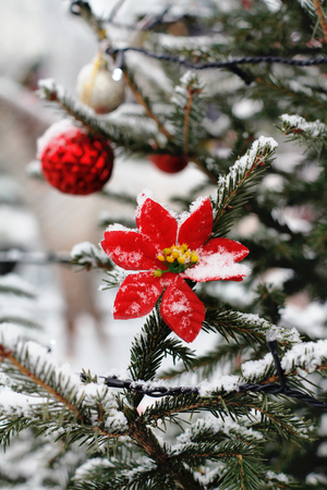 flower of red poinsettia hanging on the branch of christmas tree stock photo 88966477