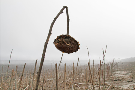 An old sunflower on foggy autumn field