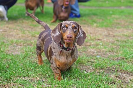 Marble dachshund walking on the green grass in the park