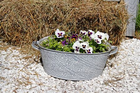 White-purple pansies in vintage bath tube standing on the stones near hay in the garden