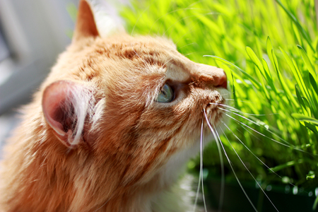 Red cat sits on balcony about green sprouts of oats in container. Banco de Imagens