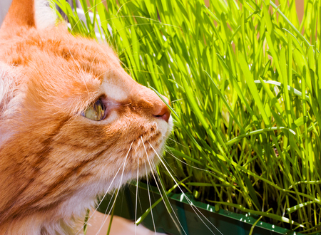 Red cat sits on balcony about green sprouts of oats in container. Stock Photo