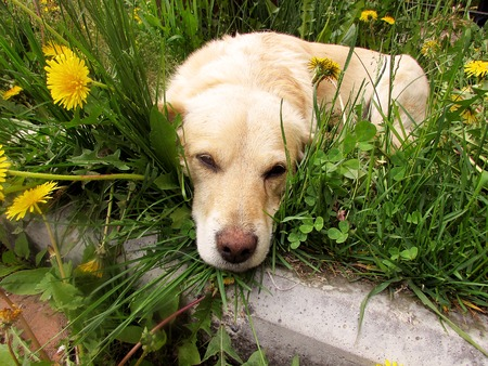 Dog lies in grass and bored. Puppy lonely without a master. Doggy lazily looking into camera lens, close-up. Stock Photo