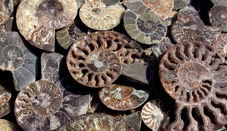 Died-out Cephalopoda mollusks. Polished half of petrified shells as souvenirs, gift. Different Ammonoidea varieties.
