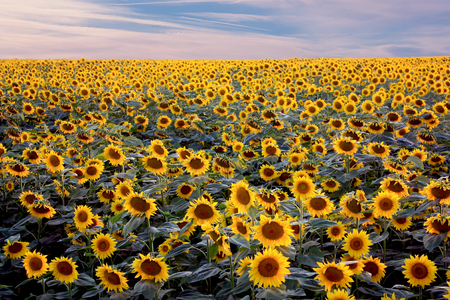 Field of blooming sunflowers  of cloudy blue sky Фото со стока