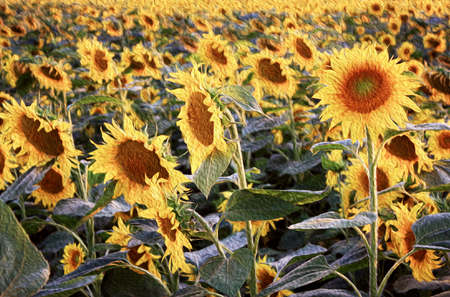 Landscape nature with field of sunflowers.