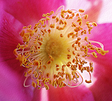 Red flower of rose hips during summer flowering.