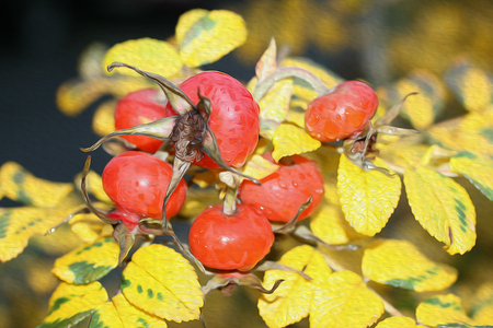 Image rosehip on a  of yellow autumn leaves. Фото со стока