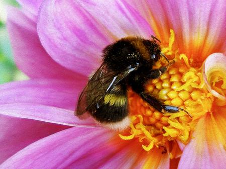 Bumblebee pollinating floret. Фото со стока