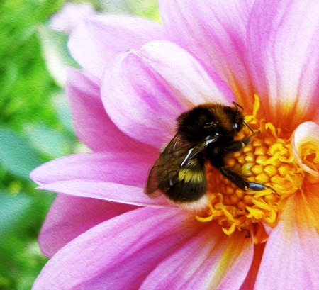 Bumblebee pollinating floret. Scenic, colorful picture of bumble bee on pink flower, close up. Фото со стока