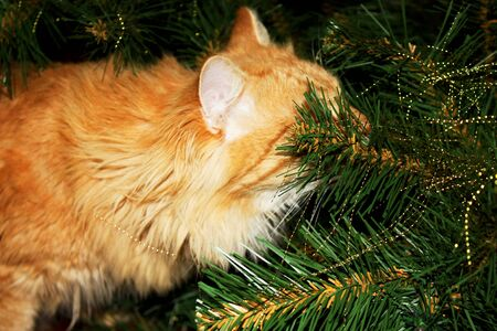 Photo of curious ginger cat playing among branches artificial christmas tree. Fluffy red domestic kitty among holiday decorations, tinsel creates mood of Christmas concept. New year theme.