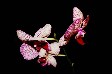 Blooming Orchid on black background. White with purple veins flower of Phalaenopsis, selective focus. Isolated on dark backdrop. 免版税图像