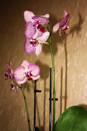 Blooming Orchid on abstract brown background. White with purple veins flower of Phalaenopsis. 免版税图像