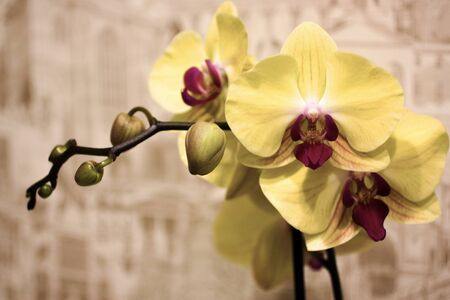 Branch of blooming Orchid on abstract light brown background. Yellow with purple flower of Phalaenopsis. 免版税图像
