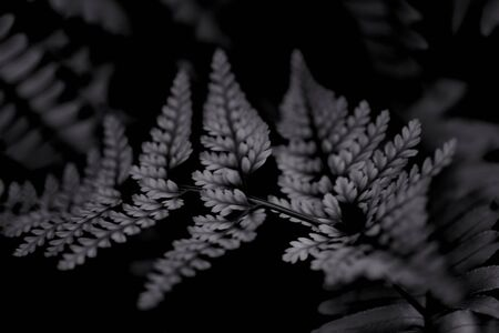 Fern leaf close-up. Herbal natural background. Elegant background for your design. Black and white abstract backdrop, texture of leaves bracken. Horizontal orientation. 免版税图像