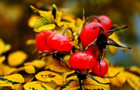 Rosehip on background of yellow autumn leaves. Ripe, bright berries of rose hips. Horizontal location. 免版税图像 - 142718756