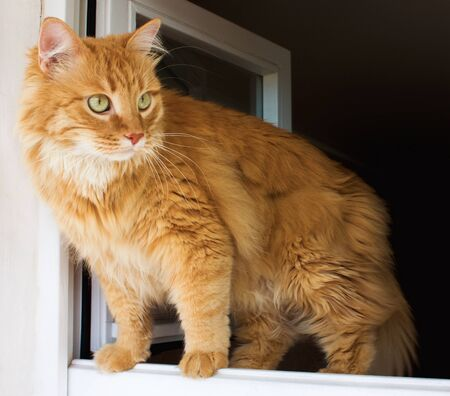 Funny ginger cat in window.