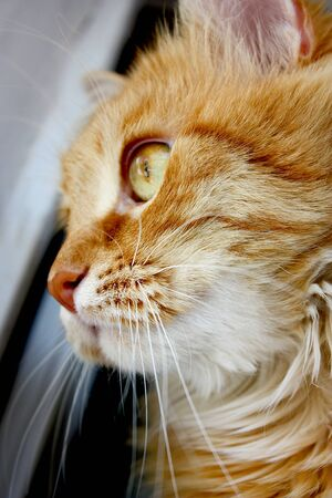 Portrait of red kitten cat sitting on window 免版税图像