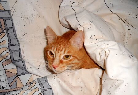 Fluffy red cat lying under blanket. Ginger kitten climbed into masters bed. 免版税图像