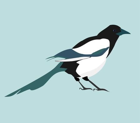 Magpie. Vector realistic image of black and white bird.
