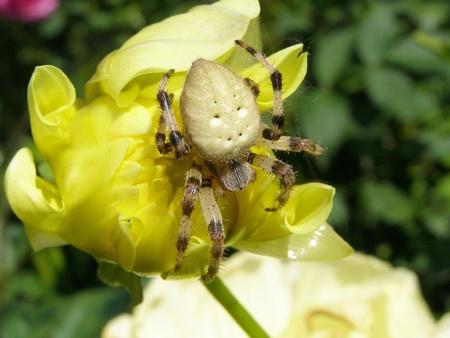 flower spider: Flower spider