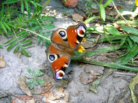 peacock butterfly: Una mariposa pavo real Foto de archivo