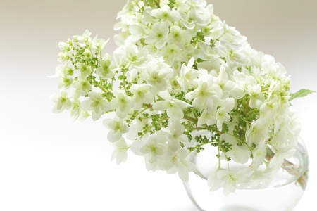 White Hydrangea photo