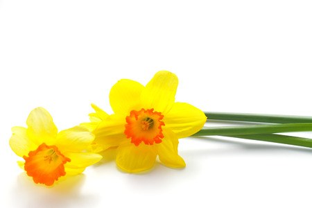 daffodil: Daffodil flower or narcissus bouquet isolated on white background