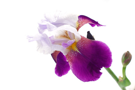 Close-up of a single purple and white iris (Iris germanica) isolated against a white background