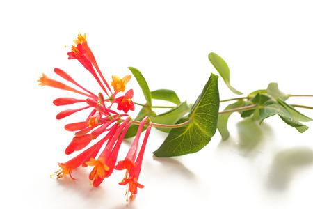 stamens: Close up of red Honeysuckle (Lonicera caprifolium) Stock Photo