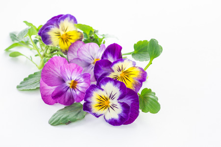 violas: beautiful pansy flowers isolated on white background