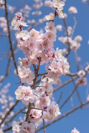 japanese apricot flower: Ume blossom against blue sky