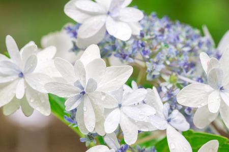hydrangea macrophylla: Beautiful Hydrangea macrophylla