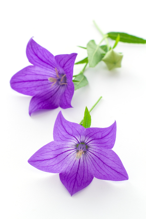 a bud: Purple flower, bud and leaves of  balloon flower or bellflowers (Platycodon grandiflorus) isolated on white background