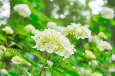 Close-up White Hydrangea in the garden