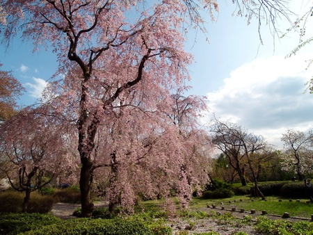 blooming: Weeping cherry tree