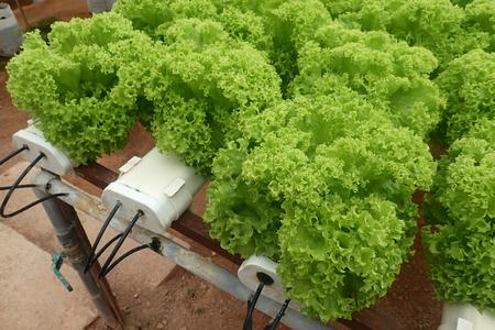 Close up of green organic salad - soft focus, shallow of depth and slight blur.