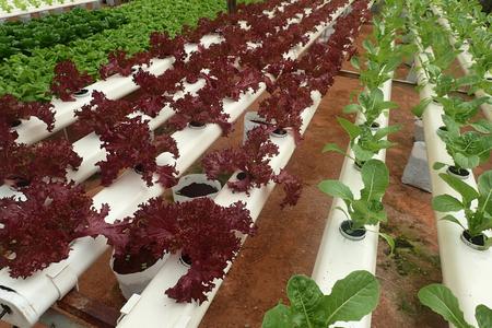 Close up of green and maroon organic salad - soft focus, shallow of depth and slight blur. 版權商用圖片