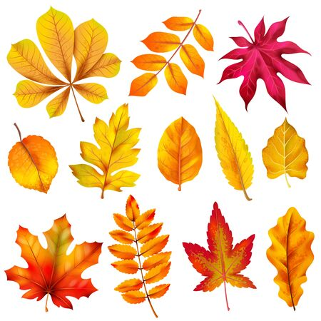 Realistic autumn leaves. Fall orange wood foliage of chestnut and maple. Oak and ash, linden and birch leaf isolated vector colorful background plant tree set