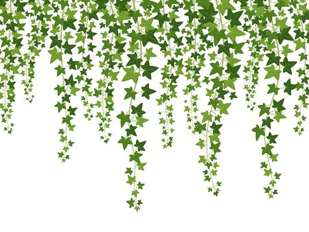 Green ivy. Hanging from above creepers with leaves, lush climbing plants garden decoration wall, nature growing hang branch for website banner vector background