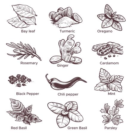 Spices and herbs. Hand drawn ginger, chilli and black pepper, oregano and bay leaf. Mint, cardamom and rosemary Sketch spices vector sketched set Illustration