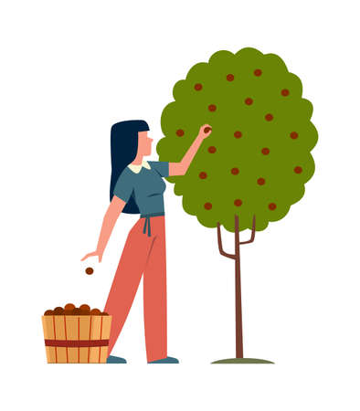 Woman in garden. Female farmer character harvesting apples in basket from tree, backyard gardening concept, growing eco seasonal fruits, cartoon flat vector isolated illustration