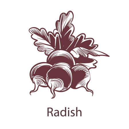 Radish hand drawn sketch. Detailed organic product botanical icon isolated on white background, cooking ingredient for labels and packages in engraving style vegetable vector single nutrition element. Vettoriali