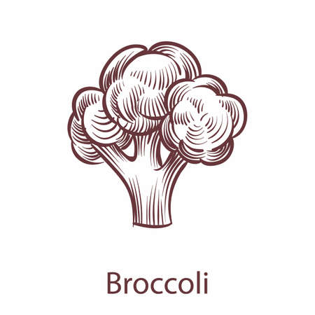 Broccoli isolated on white background. Detailed organic product botanical retro icon, cooking ingredient for labels and packages in engraving style, hand drawn vegetable vector single illustration Vettoriali
