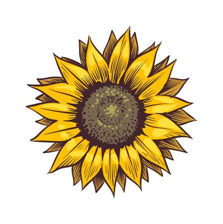 Yellow sunflower. Wildflower sun shaped view from above, sunny blossom with black seeds and petals, hand drawn botanical floral close up sketch style colored illustration vector single isolated object Ilustrace
