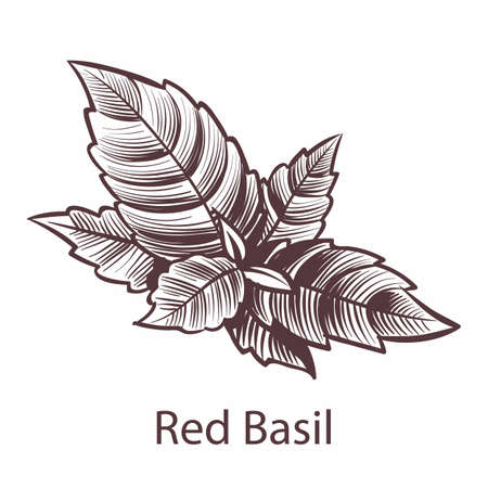 Red Basil icon. Detailed organic product sketch, botanical hand drawn label or emblem with leaves in engraving style. Aromatic spice and herb kitchen cooking symbol, vector isolated illustration