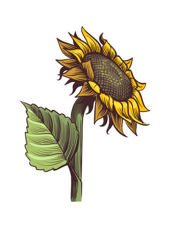 Yellow sunflower. Wildflower sun shaped view from above, sunny blossom with black seeds and petals, hand drawn botanical floral close up sketch style colored illustration vector single isolated object Ilustração